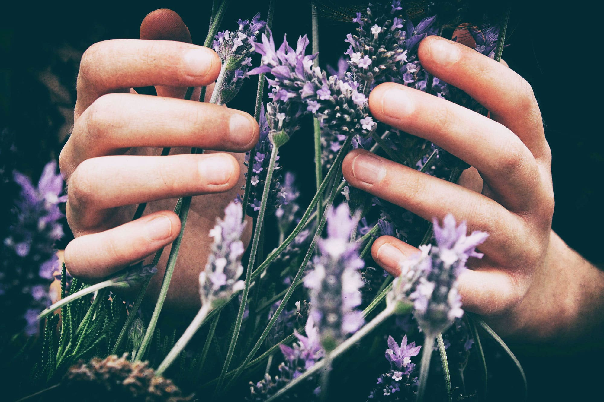 Nahaufnahme von Lavendel